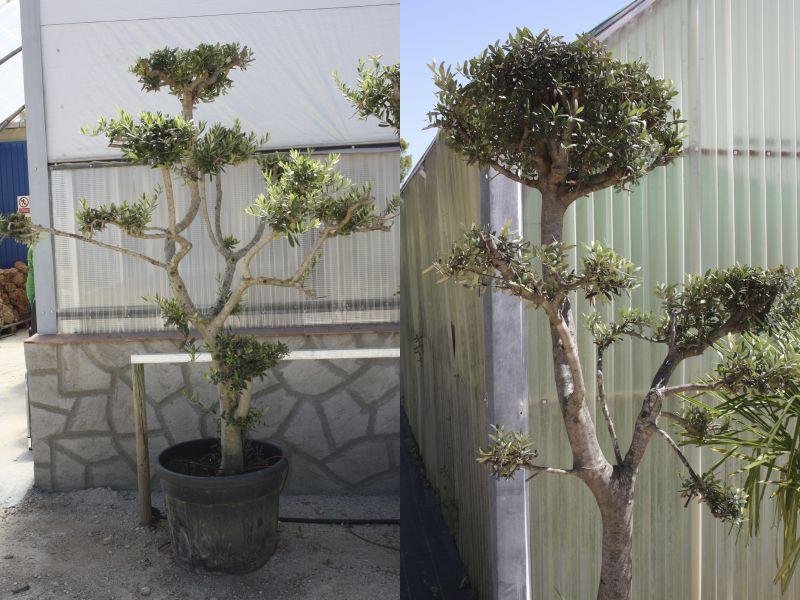 Olivo Pom Pom