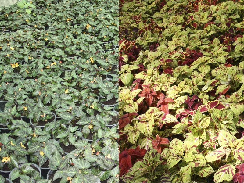 Begonias y Cóleos